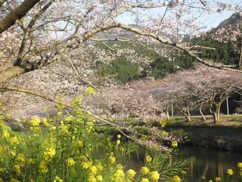 中川の桜と菜の花
