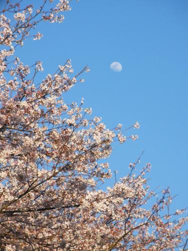 月とさくら